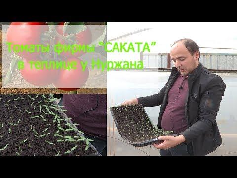 Томаты фирмы САКАТА в теплице у Нуржана (24 -02 -2018)