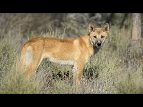 74 - A Matilha . 2 Dingo , O Cão Selvagem Australiano