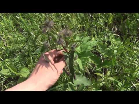 Борщевик сибирский: фото, описание