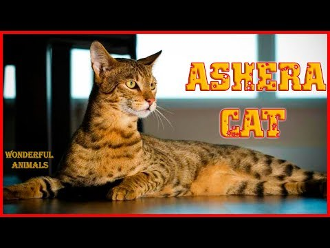 ashera-cat-ridiculously-punishes-his-master-and-loves-to-play-with-children-very-much-/-compilation