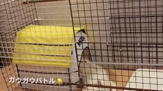 japanese spitz lemon   白もふ犬 もふもふ犬 わたちレモン<ガウガウバ...