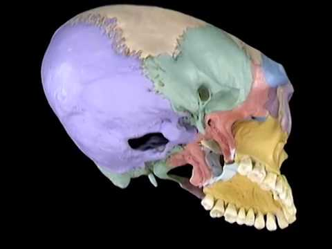 Acland\'s Video Atlas of Human Anatomy: Sphenoid Bone (new) - YouTube