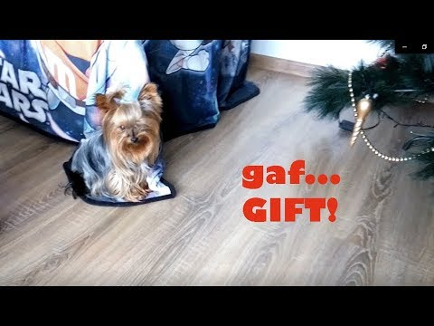 Cute Dog looking for a Gift. New Video. Yorkshire Terrier Dog Breed Runs and Lookig for|Cute movie