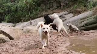年轻土猎犬挑战下司犬地位,拉帮结派群起攻之,场面惊心动魄。发布中华...
