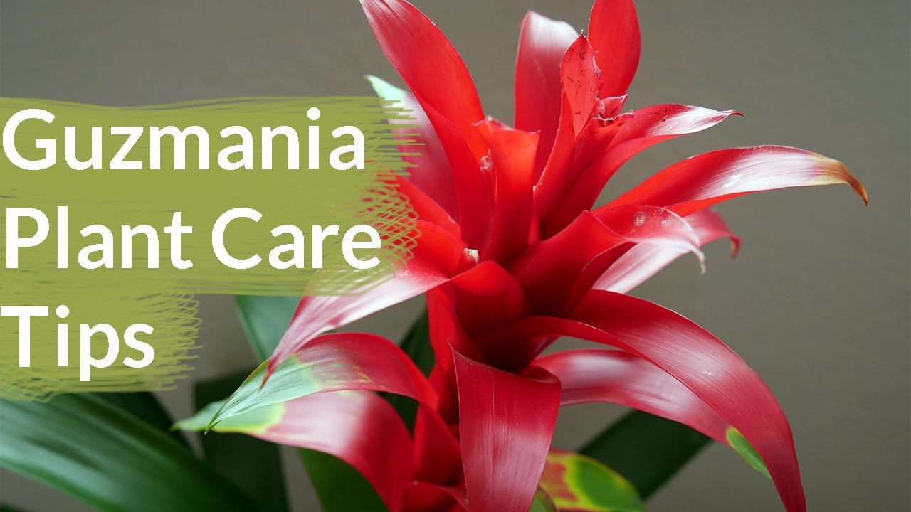 Guzmania Plant Care Tips The Bromeliad With The Vibrant Star Shaped