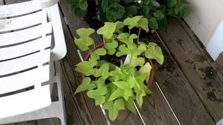 Growng Sweet Potato for HOT summer days
