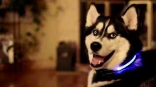 HALO MINI - LED PET COLLAR - Beautiful Husky