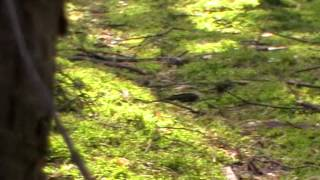 Sidła pułapka w lesie na dziką zwierzynę - kłusownictwo - znalezione podczas