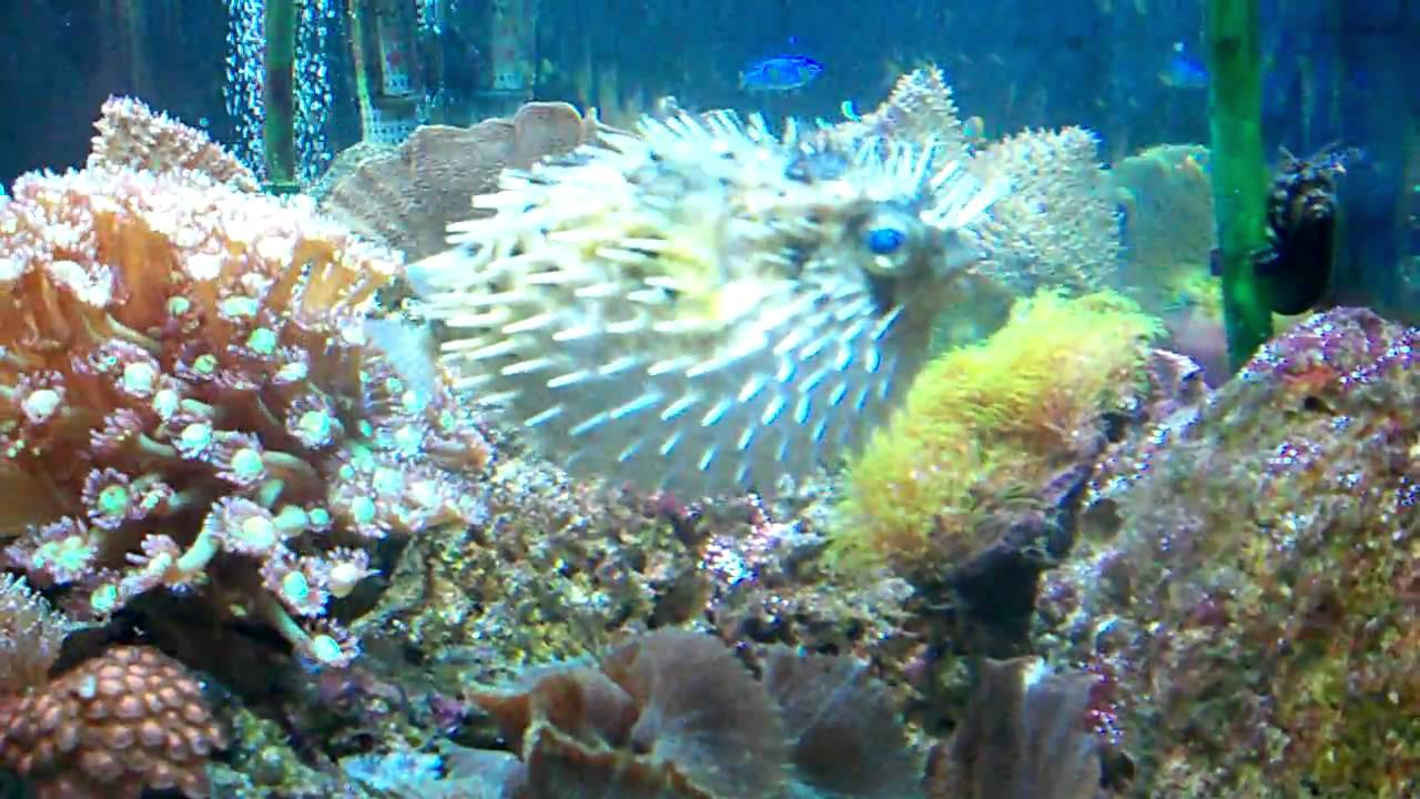 Porcupine puffer in my 75 gallon tank puffed up youtube for Puffer fish puffing