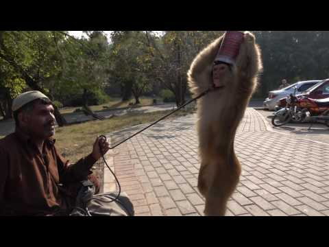 Monkey Tricks Outside of Pakistan Monument - Islamabad