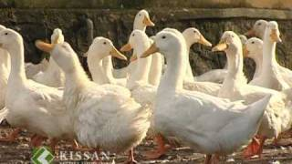 Activities of Duck Farm, Niranom, Kuttanadu : A feature story