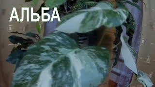 Монстера вариегатная Альба, от листика до лианы