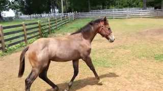 Gorgeous AQHA/FQHA Bay Roan Filly for Sale