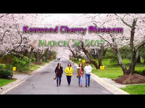 Kenwood Maryland Cherry Blossom 2017