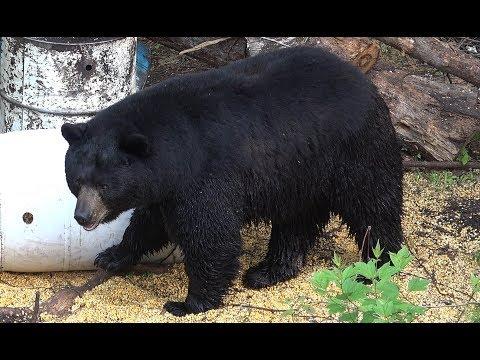 450+ POUND MONSTER BOONE CROCKETT BLACK BEAR SHOT AT 12 YARDS!