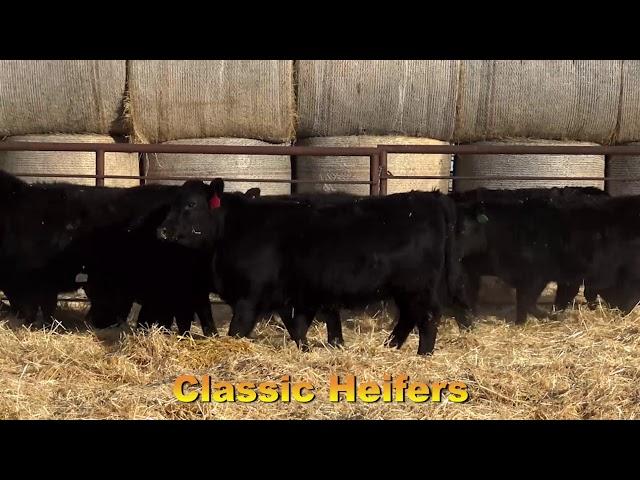 Classic Angus Ranch Heifers