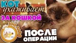 Кот ухаживает за кошкой после операции. Стерилизация кошки. Уход за кошкой после операции.