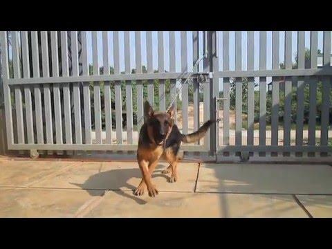 Chó Becgie Cái 4,5 tháng tuổi