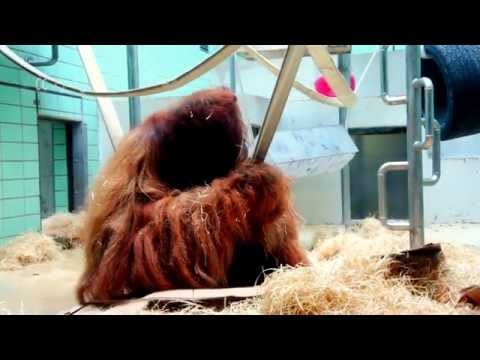 Cute Orangutans of Stuttgart Zoo