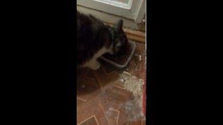 #Федяголод, кот не хочет есть сухой корм!!