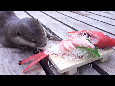 A Happy Otter Aty With Shimoda's Famous Golden Eye Snapper Sashimi! [Otter Life Day 334]【カワウソアティ】