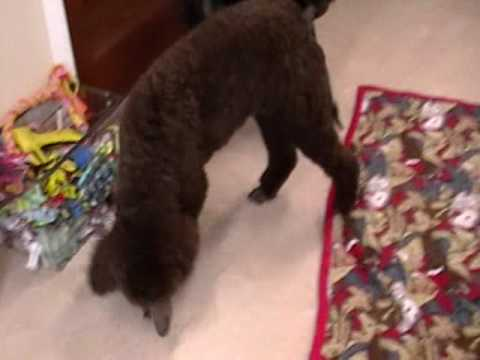 Chocolate Standard Poodle Puppy