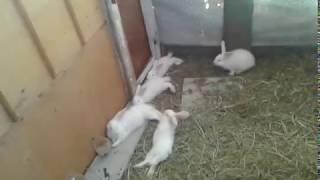 Забой кролика! живым весом и мясом!