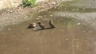 Sparrow in the puddle in slow mo (cute!)