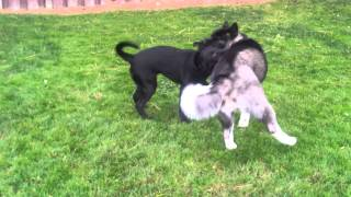 Excellent Example Of Dogs Playing Respectfully!