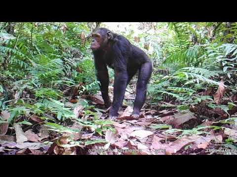 Large groups of Nigeria-Cameroon chimpanzees captured on camera trap