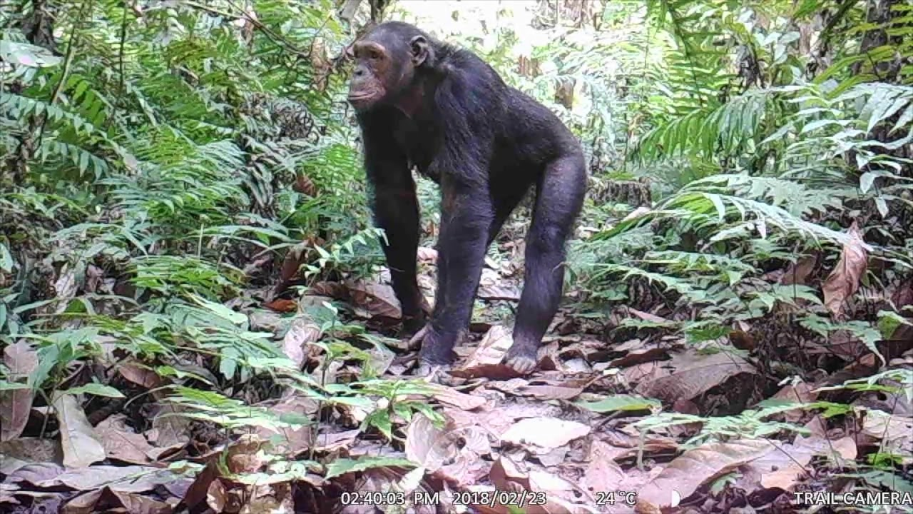 Face to Face with a Cross River Gorilla!