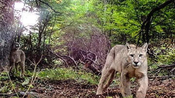 Camera traps capture incredible wildlife footage in Torres del Paine National Park