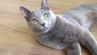 Ruzara питомник Русских Голубых кошек
