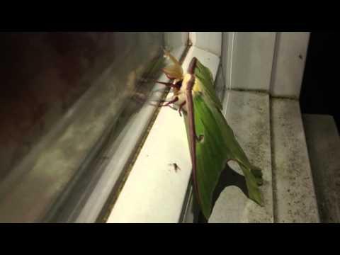 Actias luna ( luna moth ) at my window