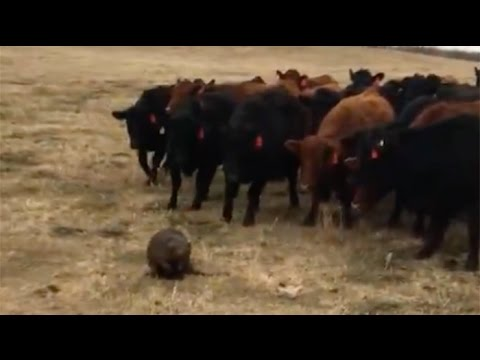 Herding cattle in Saskatchewan? Leave it to beaver