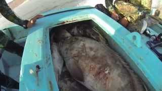 Spearfishing Hunting Big Groupers in the shallows.