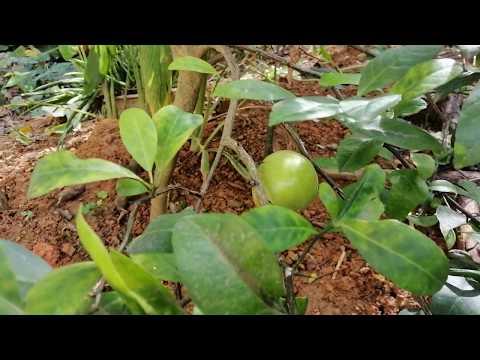 Cách dùng cây chanh để !   Chữa ho cho người già từ lá chanh tươi - linh ste Vlogs