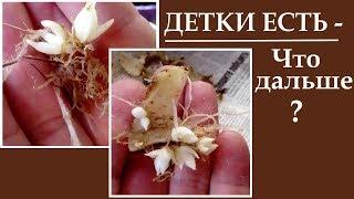 Лилии из чешуек Детки лилий появились что дальше ?