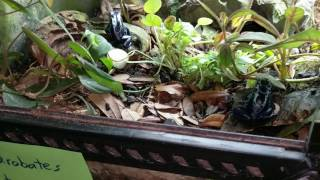 Poison Dart Frog Breeding: Water cups, Petri dishes, and frog watching