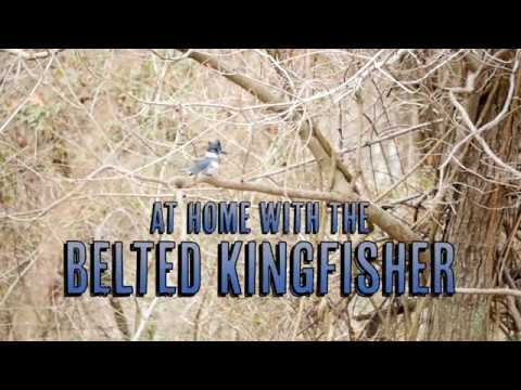 At Home With The Belted Kingfisher