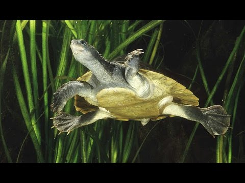 The Mary River Turtle: Rare Footage Of A Special Reptile