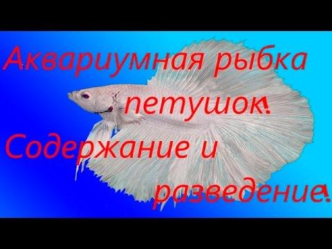 Аквариумная рыбка Петушок! Содержание и разведение! [#Петушок]