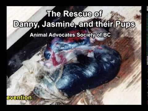 Dogs and Pups Dying in Backyard Hell: Ignored by BC SPCA: Rescuers Had to Steal! from YouTube · Duration:  2 minutes 59 seconds