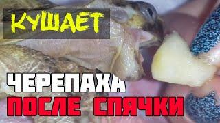 Черепаха после спячки кушает яблоко