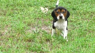 Beagle, Puppies, For, Sale, In, Columbia, South Carolina, Sc, Newberry, Forest Acres, Oak Grove, Por