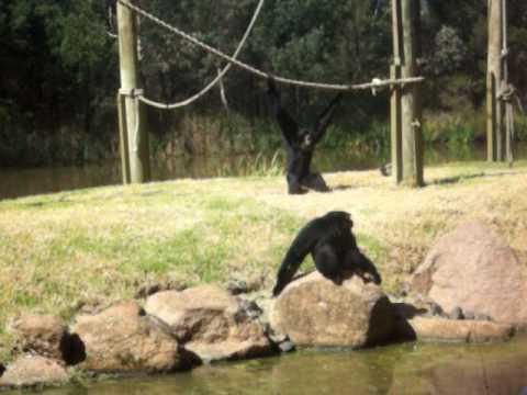 crazy monkeys screaming