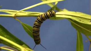 Metamorfosis de la mariposa.wmv