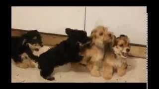 Dachshund Mix Puppies For Sale
