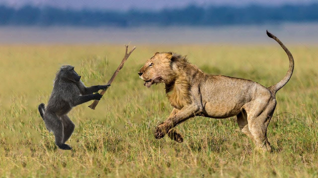 Lion vs monkey fightin! Amazing video!! Can you say who ...