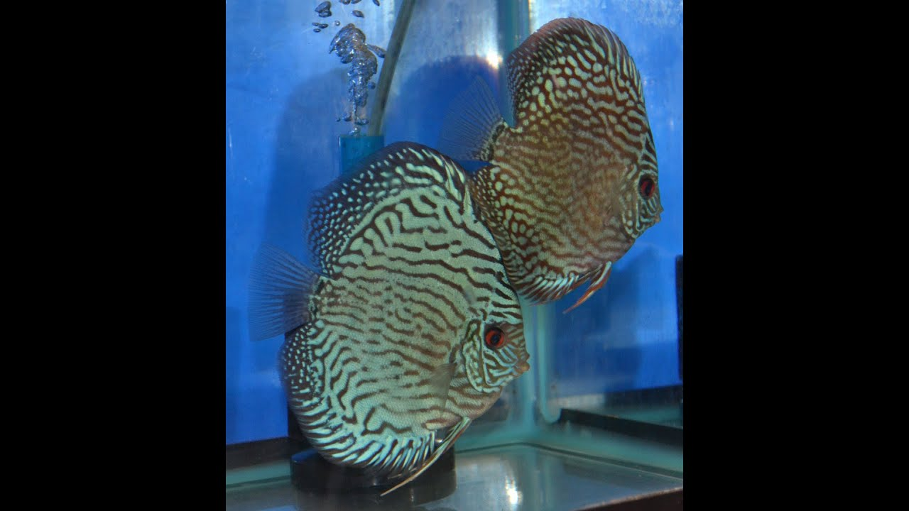 Making my time tested and proven beefheart discus food for Discus fish food